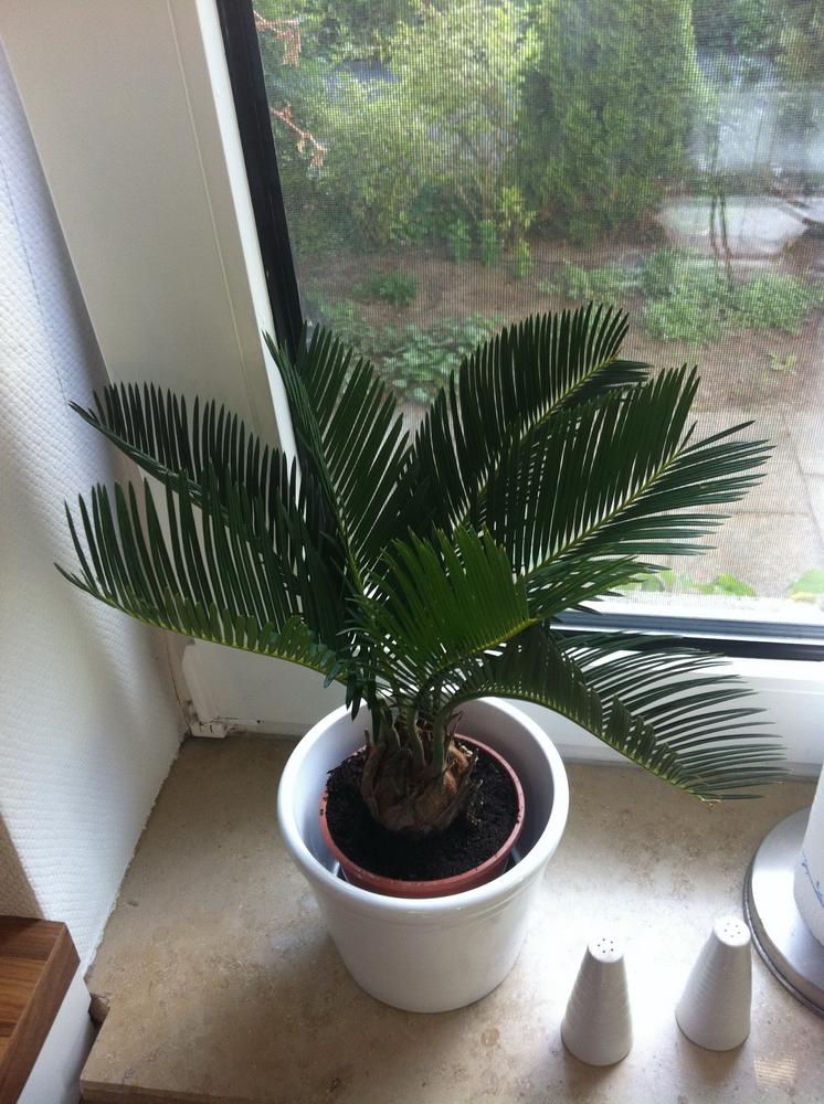 Palmen Wwwfeldkampinfo Unser Garten Exotische Pflanzen